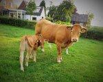 onze-koeien-15